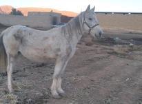 اسب مادیون در شیپور-عکس کوچک