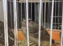 جوجه طرقه شاه مرغ در شیپور-عکس کوچک