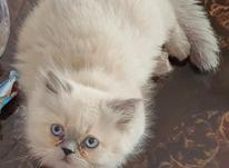 توله گربه نر پرشین بیرمن در شیپور-عکس کوچک