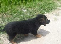 سگ ژرمن شپرد نر سی روزه در شیپور-عکس کوچک