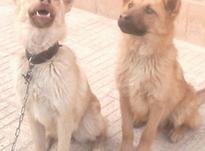 توله سگ نر وماده 6 ماهه (آدمگیر) در شیپور-عکس کوچک
