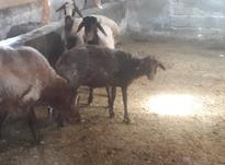 فروش گوسفند در شیپور-عکس کوچک