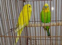 2جفت مرغ عشق در شیپور-عکس کوچک