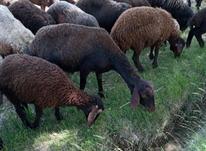 گوسفند قزل افشار اصل در شیپور-عکس کوچک
