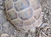 فروش لاکپشت کوچک وبزرگ در شیپور-عکس کوچک