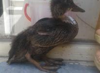 جوجه اردک زیبا در شیپور-عکس کوچک