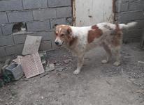 سگ سنگسری اصیل در شیپور-عکس کوچک