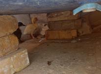 اردک های 21 روزه 2 عدد زرنگ در شیپور-عکس کوچک
