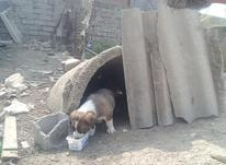 توله سگ افغان نر در شیپور-عکس کوچک