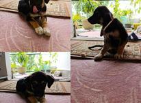 سگ ژرمن بومی در شیپور-عکس کوچک