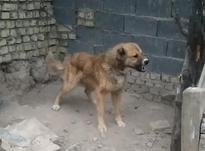 سگه گله یکسال و6 ماه در شیپور-عکس کوچک