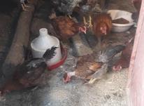 فریح تخم گذار در شیپور-عکس کوچک