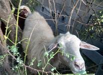 گوسفندبا بره درشت در شیپور-عکس کوچک