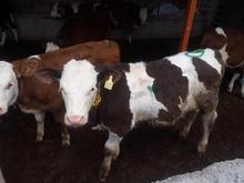 فروش گوساله سیمینتال،هلشتاین  در شیپور