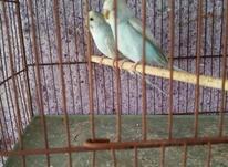 مرغ عشق نر باِلغ در شیپور-عکس کوچک
