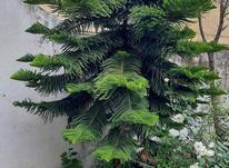 درخت کاج تزیینی ( مطبق ) در شیپور-عکس کوچک