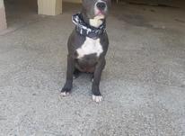 سگ پیتبول بلو در شیپور-عکس کوچک