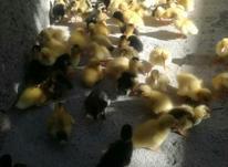 جوجه اردک پکنی در شیپور-عکس کوچک