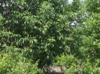 باغ انگور و گردو در بگیر در شیپور-عکس کوچک