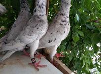 کبوتر کاریر سار نر 4عدد در شیپور-عکس کوچک