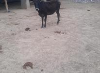 گاو قربانی 2 راس در شیپور-عکس کوچک