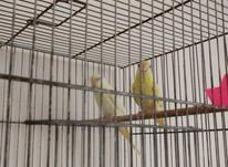 مرغ عشق هلندی با جوجه در شیپور-عکس کوچک