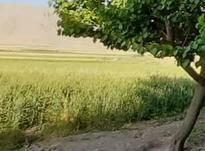 گندم ابی دوهکتار و نیم در شیپور-عکس کوچک