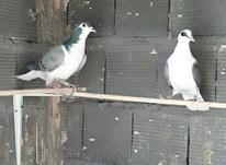 کبوتر بدرنگ در شیپور-عکس کوچک