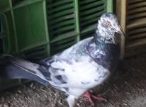 کبوتر بغدادی نر در شیپور-عکس کوچک