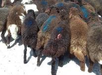 گوسفند زنده در شیپور-عکس کوچک