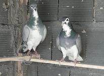 کبوتر دمگیر در شیپور-عکس کوچک