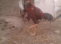 خروس لاری اصیل در شیپور-عکس کوچک