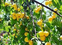 باغ زردآلو 3 طناب در شیپور-عکس کوچک