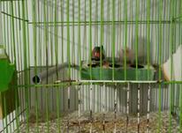 یک جفت فنچ مولد جوان به همراه قفس در شیپور-عکس کوچک