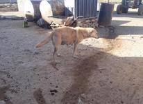 یک سگ ماده آبسترنزدیک به زایمان جفت خورده باعراقی اصیل در شیپور-عکس کوچک