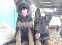 سگ ژرمن دوتا ماده در شیپور-عکس کوچک