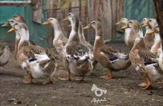تخم نطفه دار اردک پکنی نژاد سنگین وزن در گروه خرید و فروش ورزش فرهنگ فراغت در مازندران در شیپور-عکس1