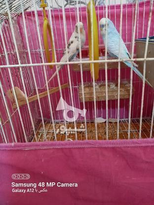 یک جفت مرغ عشق با دو تا جوجه 20 روزه با قفس در گروه خرید و فروش ورزش فرهنگ فراغت در هرمزگان در شیپور-عکس1