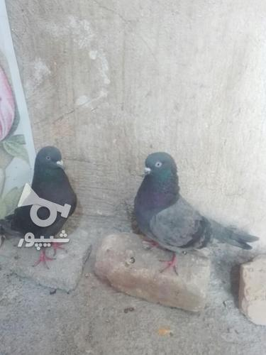 کبوتر مهران. در گروه خرید و فروش ورزش فرهنگ فراغت در ایلام در شیپور-عکس5