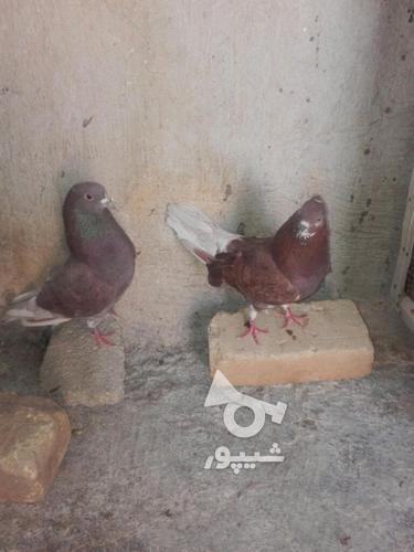 کبوتر مهران. در گروه خرید و فروش ورزش فرهنگ فراغت در ایلام در شیپور-عکس1