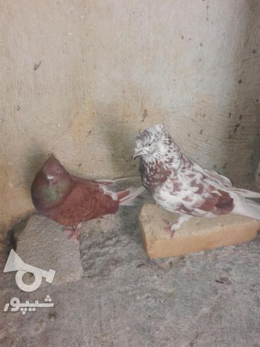 کبوتر مهران. در گروه خرید و فروش ورزش فرهنگ فراغت در ایلام در شیپور-عکس8