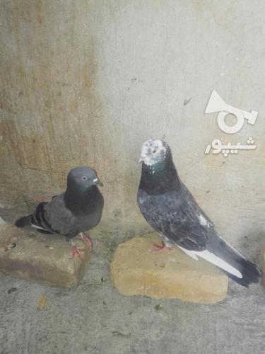 کبوتر مهران. در گروه خرید و فروش ورزش فرهنگ فراغت در ایلام در شیپور-عکس3