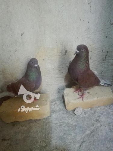 کبوتر مهران. در گروه خرید و فروش ورزش فرهنگ فراغت در ایلام در شیپور-عکس7