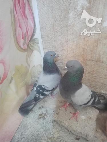 کبوتر مهران. در گروه خرید و فروش ورزش فرهنگ فراغت در ایلام در شیپور-عکس4
