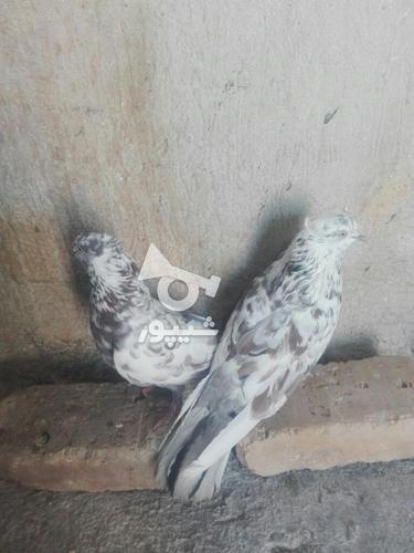 کبوتر مهران. در گروه خرید و فروش ورزش فرهنگ فراغت در ایلام در شیپور-عکس6