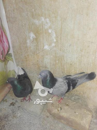 کبوتر مهران. در گروه خرید و فروش ورزش فرهنگ فراغت در ایلام در شیپور-عکس2