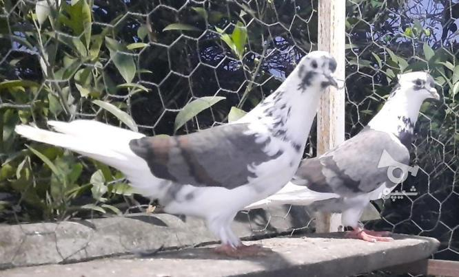 کبوتر پرشی در گروه خرید و فروش ورزش فرهنگ فراغت در مازندران در شیپور-عکس2