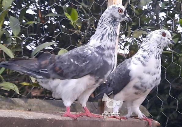 کبوتر پرشی در گروه خرید و فروش ورزش فرهنگ فراغت در مازندران در شیپور-عکس7