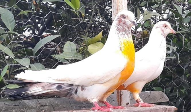 کبوتر پرشی در گروه خرید و فروش ورزش فرهنگ فراغت در مازندران در شیپور-عکس8