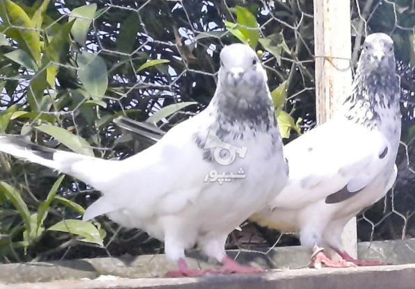 کبوتر پرشی در گروه خرید و فروش ورزش فرهنگ فراغت در مازندران در شیپور-عکس6